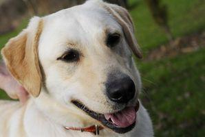 Alergias de Labrador