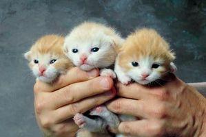 Cómo hacer tres semanas de edad gatitos al orinar