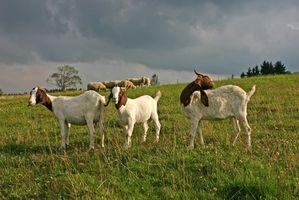 Cómo comprar cabras de 4-H para la venta