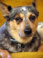 Enfermedades de ganadero australiano perros