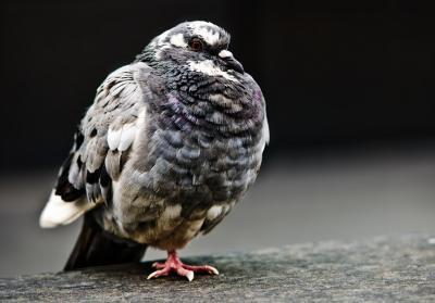 La mejor manera de mantener a las palomas de mi granero