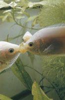 ¿Por qué Jellybean besos peces que comen los otros peces en mi acuario?