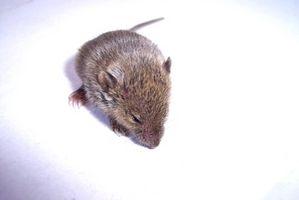 ¿Cómo puedo saber cuando mi ratón hembra está embarazada?