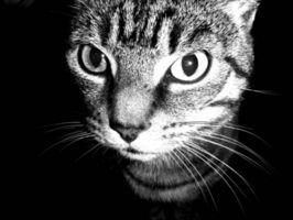 ¿Por qué los gatos necesitan sus bigotes al equilibrio?