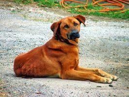 Enfermedades genéticas más comunes en los perros