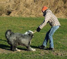 Diferencias entre un pastor polaco de tierras bajas y el Collie Barbudo