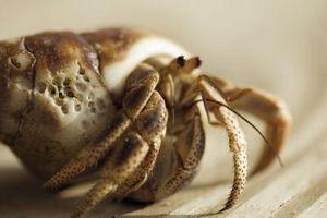 ¿Qué significa cuando cangrejos ermitaños dejan sus conchas?