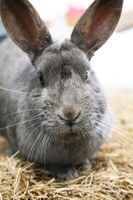 Las distintas razas de conejos