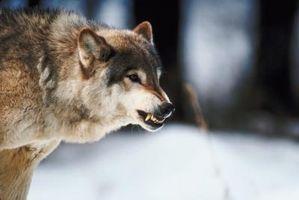 Las diferencias entre vampiros y hombres lobo