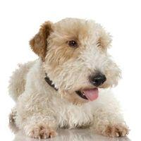 Forma de Clip y novio Wheaten Terrier