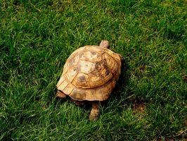 Cómo conservar una tortuga de ajuste