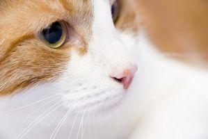 Síntomas de un gato que comió veneno para ratas