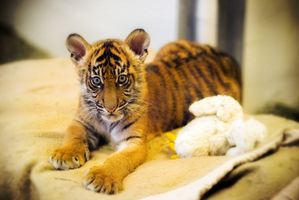 Cómo encontrar el tigre bebé en Petz Rescue: veterinario de fauna silvestre para Wii