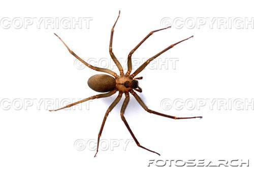 Cómo identificar a las arañas en el norte de California
