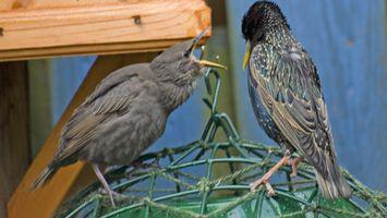 Aves caseras trampas para gorriones y estorninos