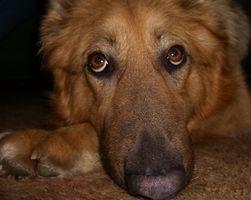SIDA salud holística para perros con problemas del corazón