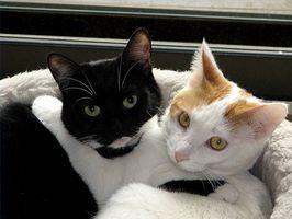 Cómo tratar la diarrea de metimazol en gatos