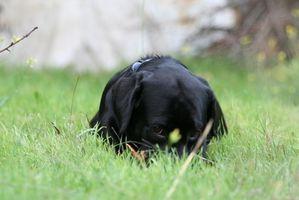 Cómo estimar el crecimiento del cachorro de Labrador