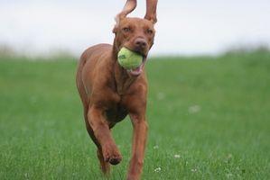 Antibióticos de oreja para perros