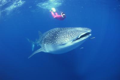 ¿Qué tipo de tiburones comen carne cruda?