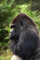 ¿Por qué es el gorila el más cercano a la raza humana?