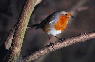 Cómo dibujar un Robin paso a paso