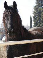 Cómo manejar un caballo sin una brida, usando las rodillas solamente
