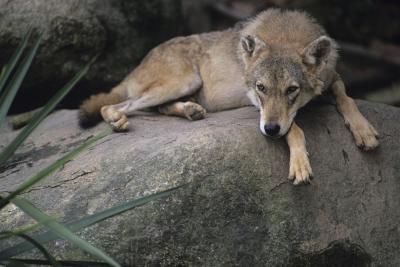 ¿Qué Estados y continentes ¿lobos vive en?