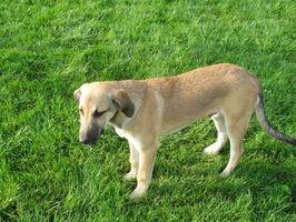 Control orgánico de pulgas para perros