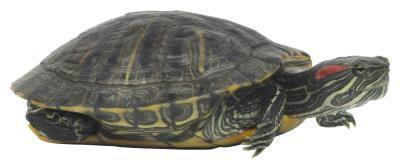Los hábitos de alimentación de las tortugas domésticas