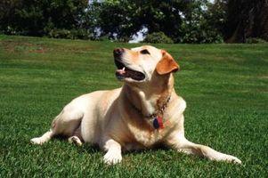 ¿Qué es un césped resistente para perros?