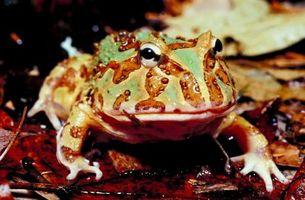 Cómo hacer una rana Pacman de la hibernación