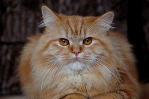 Cómo quitar una bola de pelo de la garganta de un gato