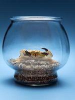 Cómo mantener los cangrejos vivos en tanques de