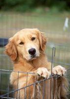 Cómo rescatar un Golden Retriever