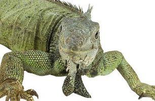 ¿Qué comen los lagartos Mophead Iguana?