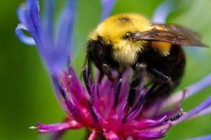 Cómo cuidar de un abejorro