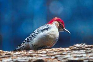 Juegos de Woody Woodpecker