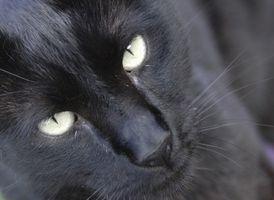 Dieta para gatos con asma