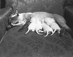 Cama de parto de los gatos