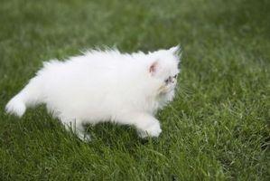 Medidas para afrontar las pulgas de gato