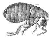 Cómo hacer recetas caseras para eliminar las pulgas