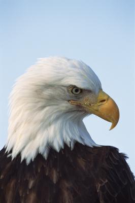 Cómo saber la diferencia entre un buitre de Turquía altísimas y águila calva