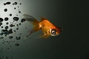 ¿Peces asfixiar o ahogar en el aire?