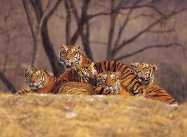 Datos de crecimiento de tigre