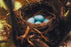 Cómo vela Robin huevos