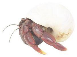 Como conseguir la humedad adecuada para cangrejos ermitaños