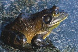 Las características de una rana toro