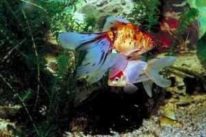 Cómo hacer un Goldfish Fantail crecer más grande
