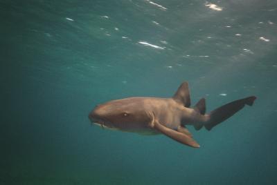 ¿Qué tipo de la aleta Caudal tiene el tiburón cazón?